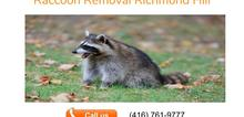 Small2_raccoon_removal_richmond_hill