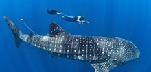 Small2_snorkel-with-whale-sharks-naw