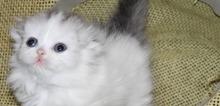 Small2_munchkin-kitten-for-sale-munchkinskitty-company-com_orig