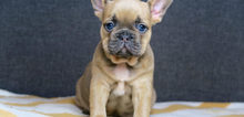 Small2_french_bulldog_for_sale_1